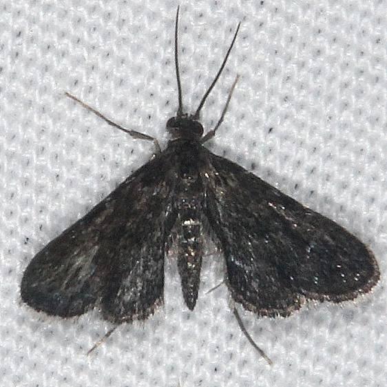 4754 Elophila tinealis yard 7-22-14
