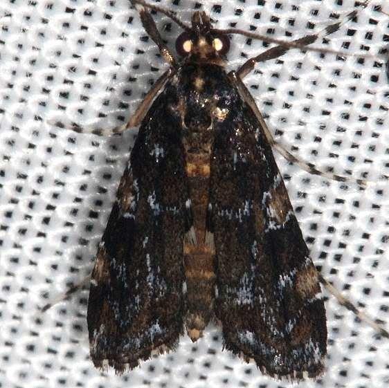 4758 Black Langessa Moth L nomophilalis Lucky Hammock Everglades 2-23-14