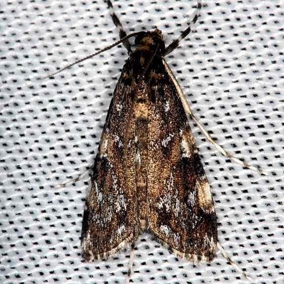 4758 Black Langessa Moth Pinelands Everglades Fl 2-18-14
