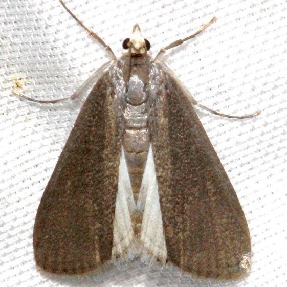 4759 Polymorphic Pondweed Moth Hidden Lake Everglades Natl Pk 3-9-13