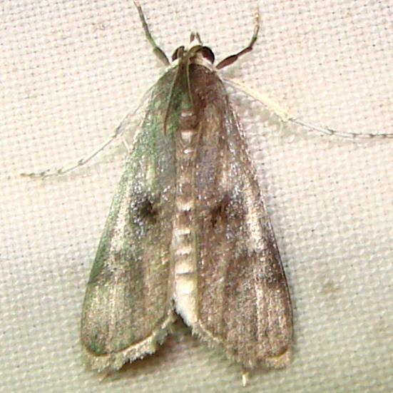 4759 Polymorphic Pondweed Moth Mahogany Hammock Everglades Natl Pk 2-25-12