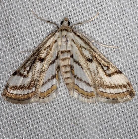 4761 Chestnut-marked Pondweed Moth Thunder Lake Mich 6-21-13