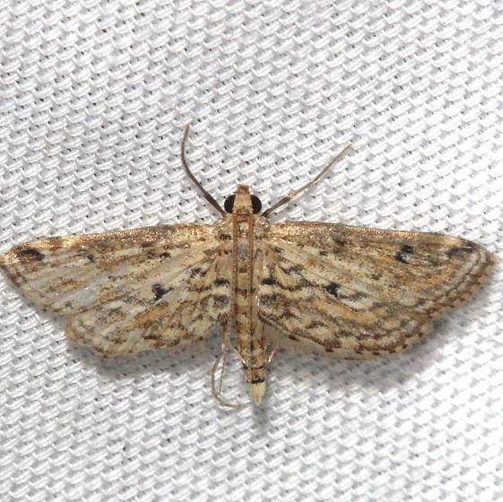 4764 Watermilfoil Leafcutter Moth Hidden Lake Everglades Natl Pk 3-9-13