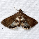 4769 Dimorphic Leafcutter Moth Little Manetee River St Pk 3-9-15