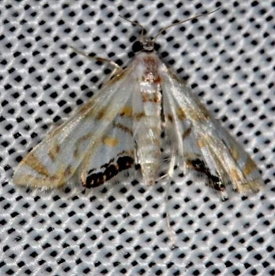 4770 Petrophila drumalis Collier Seminole St Pk 3-2-14