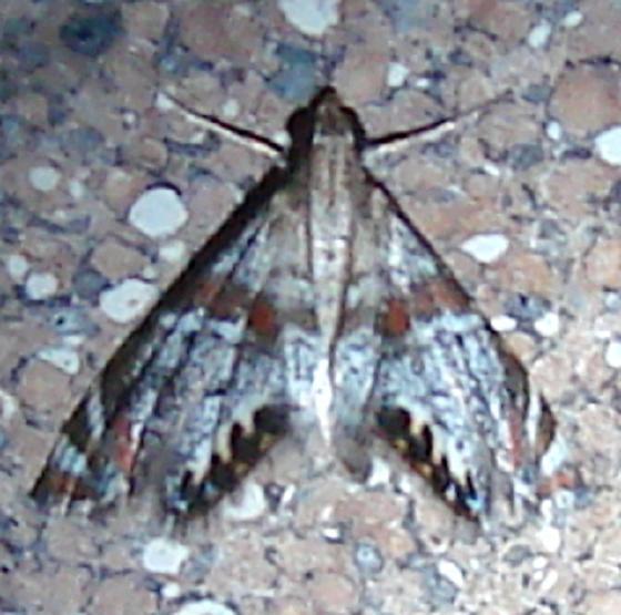 4775 Petrophila jailscalis Moth Ventana Canyon Resort Tucson Az 9-10-12