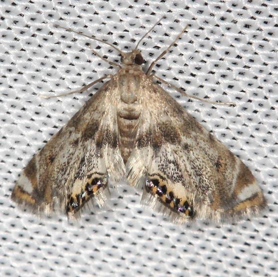 4777 Petrophila sp grp yard 7-17-13