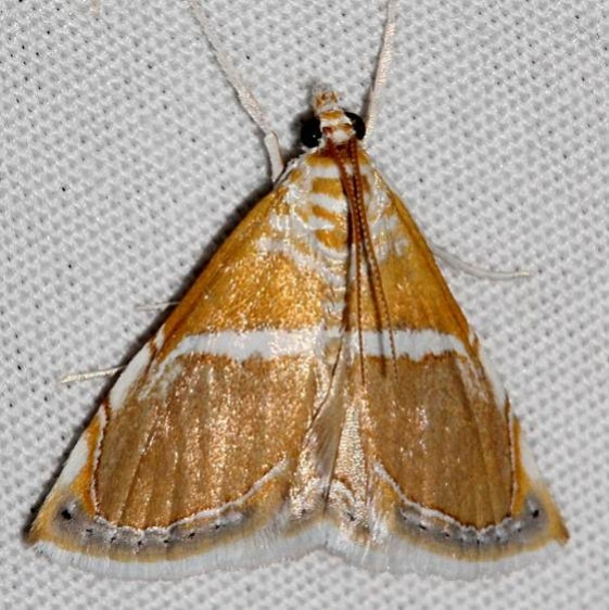 4867 White-trimmed Brown Pyralid Moth Colorado Natl Monument 6-17-17 (187)_opt