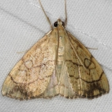 4897 Purple-backed Cabbageworm yard 8-31-14 (7)_opt
