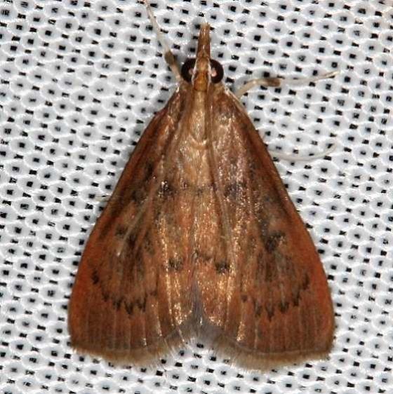 4940 Wine-tinted Oenobotys Moth O vinotinctalis Rodman campground Fl 3-19-14