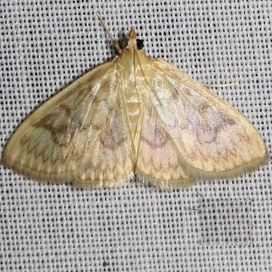4944 Angelic Crocidiphora Moth yard 6-20-12