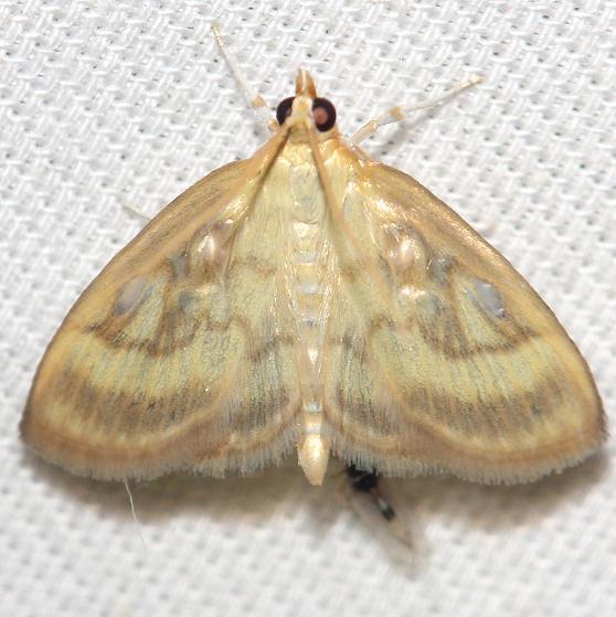 4945 Pale-winged Crocidiphora Moth yard 5-28-12