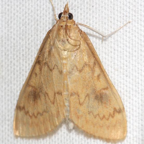 4946 American Lotus Borer Moth yard 8-6-12
