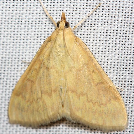4949 European Corn Borer Moth female yard 8-18-12