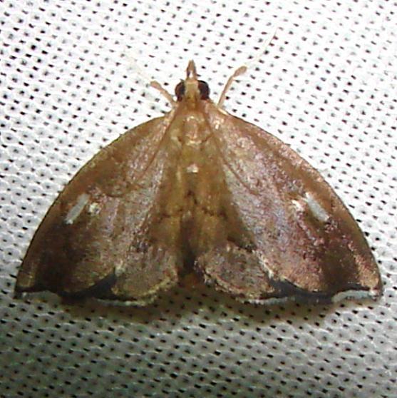 4951 Titian Peale's Pyralid Moth Gold Head Branch St Pk Fl 2-14-12