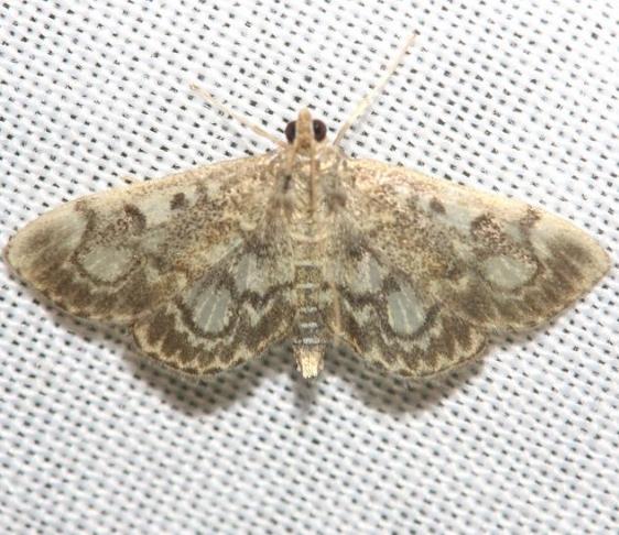 4953 Crowned Phlyctaenia Moth yard 8-31-12
