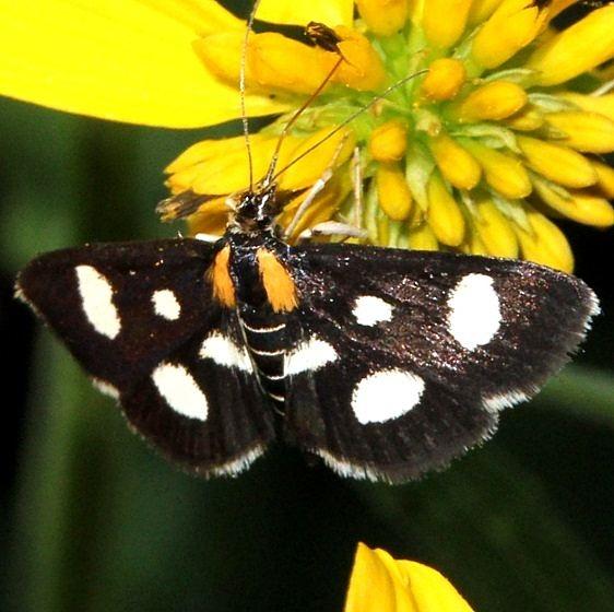 4958 White Sable Moth Dennison Bio Preserve 8-8-15