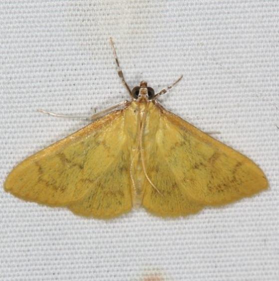 4973.1 Ecpyrrthorrhoe puralis Campsite 119 Falcon St Pk Texas 10-26-16 (1)_opt