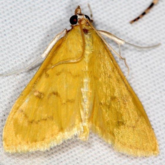 4973.1 Ecpyrrthorrhoe puralis Campsite 119 Falcon St Pk Texas 10-28-16 (2)_opt