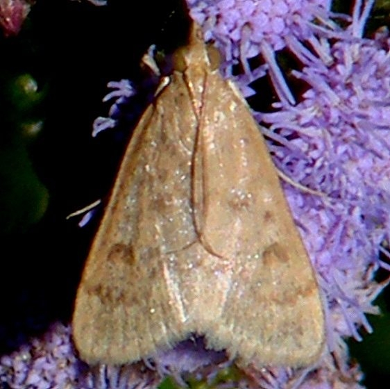 4975 Garden Webworm Moth Benson State Park Texas 10-19-08 (23)_opt