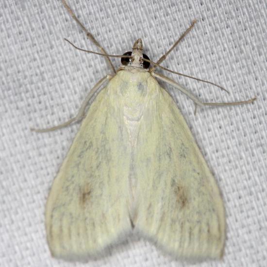 4986.1 Carrot Seed Moth yard 7-14-13