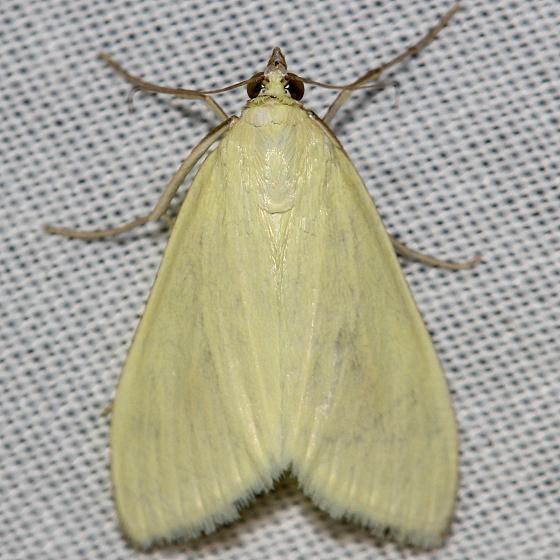4986.1 Greenish yellow Sitochroa Moth yard 7-17-12