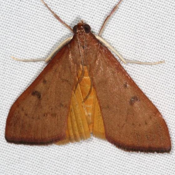 4992 Genista Broom Moth Campsite 119 Falcon St Pk 10-22-16_opt