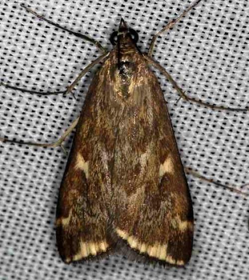 5004 Beet Webworm Moth Lake of the Woods Ontario 7-24-16 (5a)_opt
