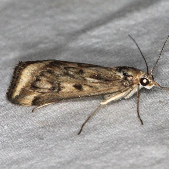 5017 Alfalfa Webworm Moth Devil's Canyon Campground National Forest Utah 6-7-17 (115)_opt