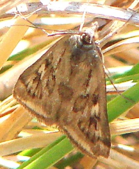 5017 Alfalfa Webworm Moth Kitty Todd Preserve Oh 5-21-11