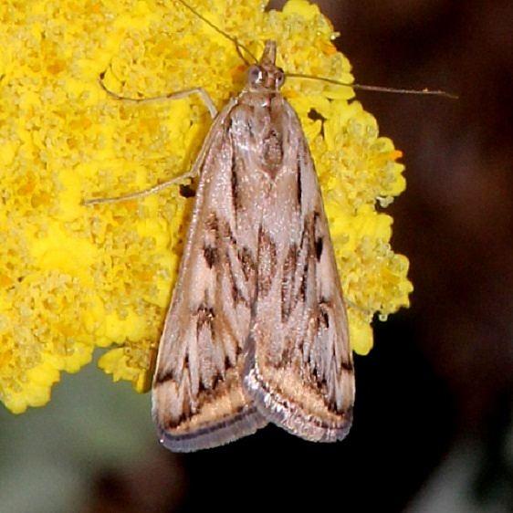5017 Alfalfa Webworm Moth Royal Gorge Colorado 6-19-17 (7)_opt
