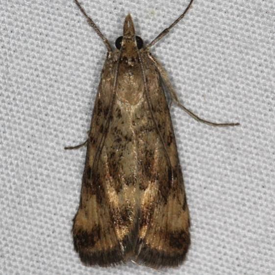 5017.99 Unidentified Loxostege Moth BG Devil's Canyon Campground Utah 6-7-17