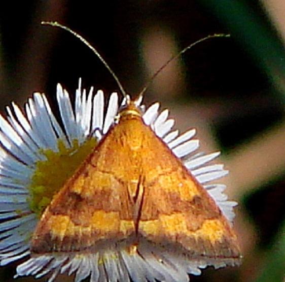 5043 Pyrausta pseudonythesalis Big Cypress Preserve Monument Campsite 3-19-11