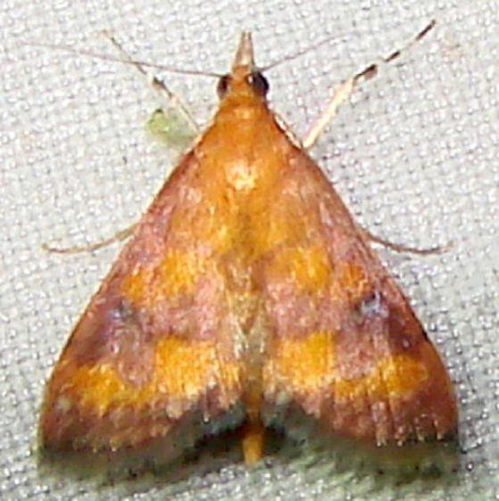 5049 Phoenician Pyrausta Moth Mahogany Hammock Everglades Natl Pk 2-25-12