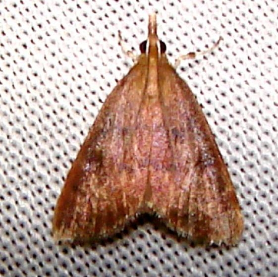 5051 Variable Reddish Pyrausta Moth Nike missle Road junction research Rd Everglades 2-28-12