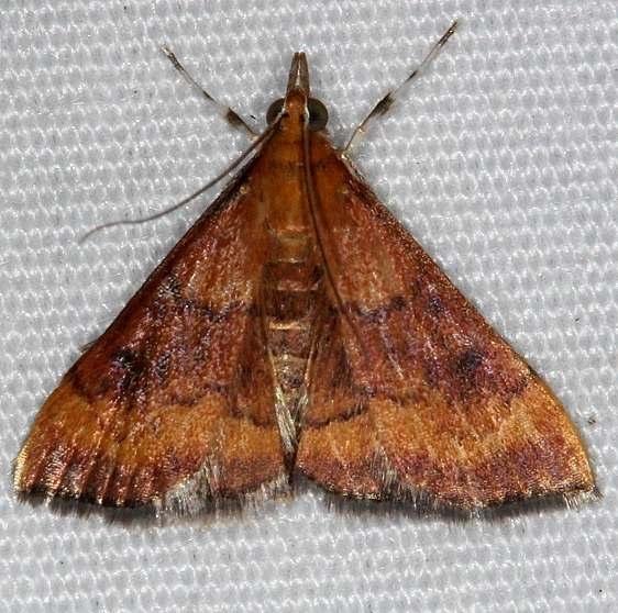 5051 Variable Reddish Pyrausta Moth yard 9-2-14