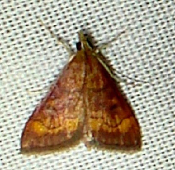 5052 California Pyrausta Moth Anita's yard Orinda Calf 8-31-11