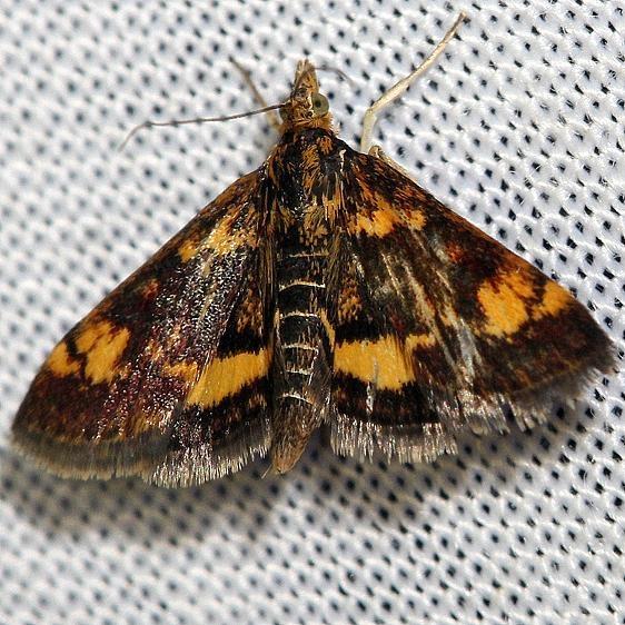 5058 Orange-spotted Pyrausta Moth yard 6-16-12