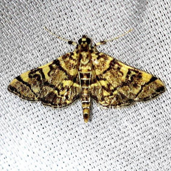 5177 Checkered Apogeshna Moth Everglades Natl Pk Nike Missle Rd 3-7-13