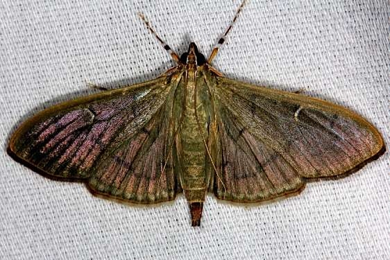 5215 The Alamo Moth Hidden Lake Everglades 2-18-14
