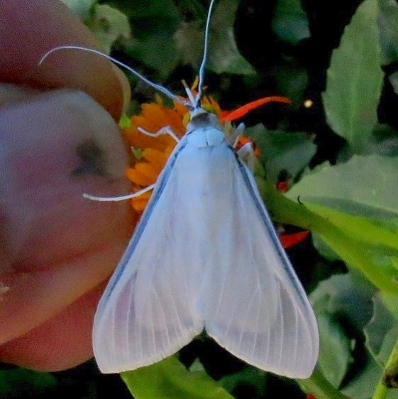 5217 Satin White Palpita Moth National Butterfly Garden Tx 11-2-13