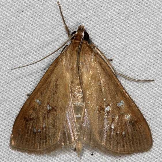 5255 White-spotted Brown Moth yard 7-17-14