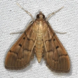5272 Southern Beet Webworm Moth Campsite 119 Falcon St Pk Texas 10-25-16_opt