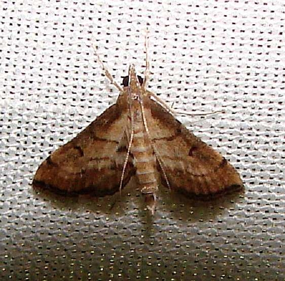 5288 Trapeze Moth Gold Head Branch State Park 2-16-12