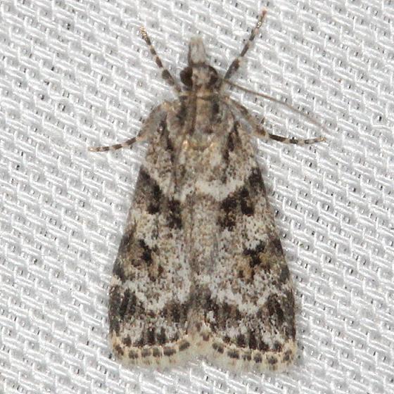 4716 Double-striped Scopara Moth yard 5-19-13