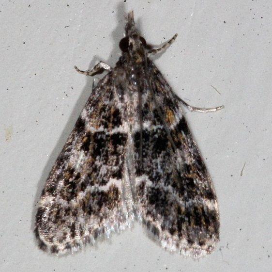 4735 Eudonia Echo Moth Cherry Tree Inn Victoria BC 8-16-14