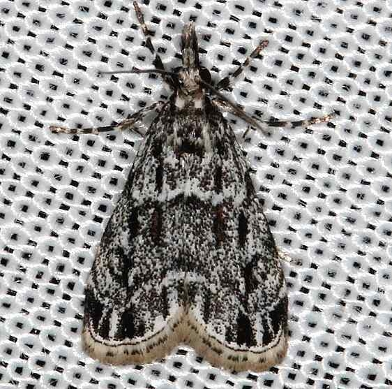4738 Striped Eudonia Moth E strigalis Rodman Campground Fl 3-21-14