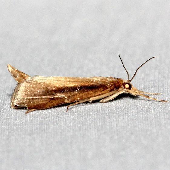 5307 Carectocultus perstrialis Mahogany Hammock Everglades Natl Pk 3-10-13