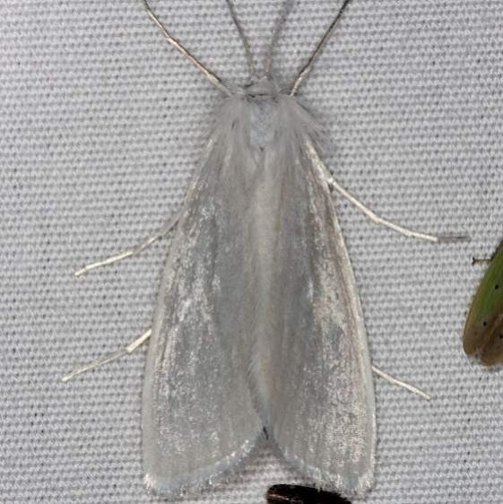 5311 Rupela tinctella Pineland Everglades Fl 2-26-15