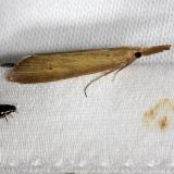 5321 Brown Donacaula Moth Kissimmee Prairie St Pk 3-12-13